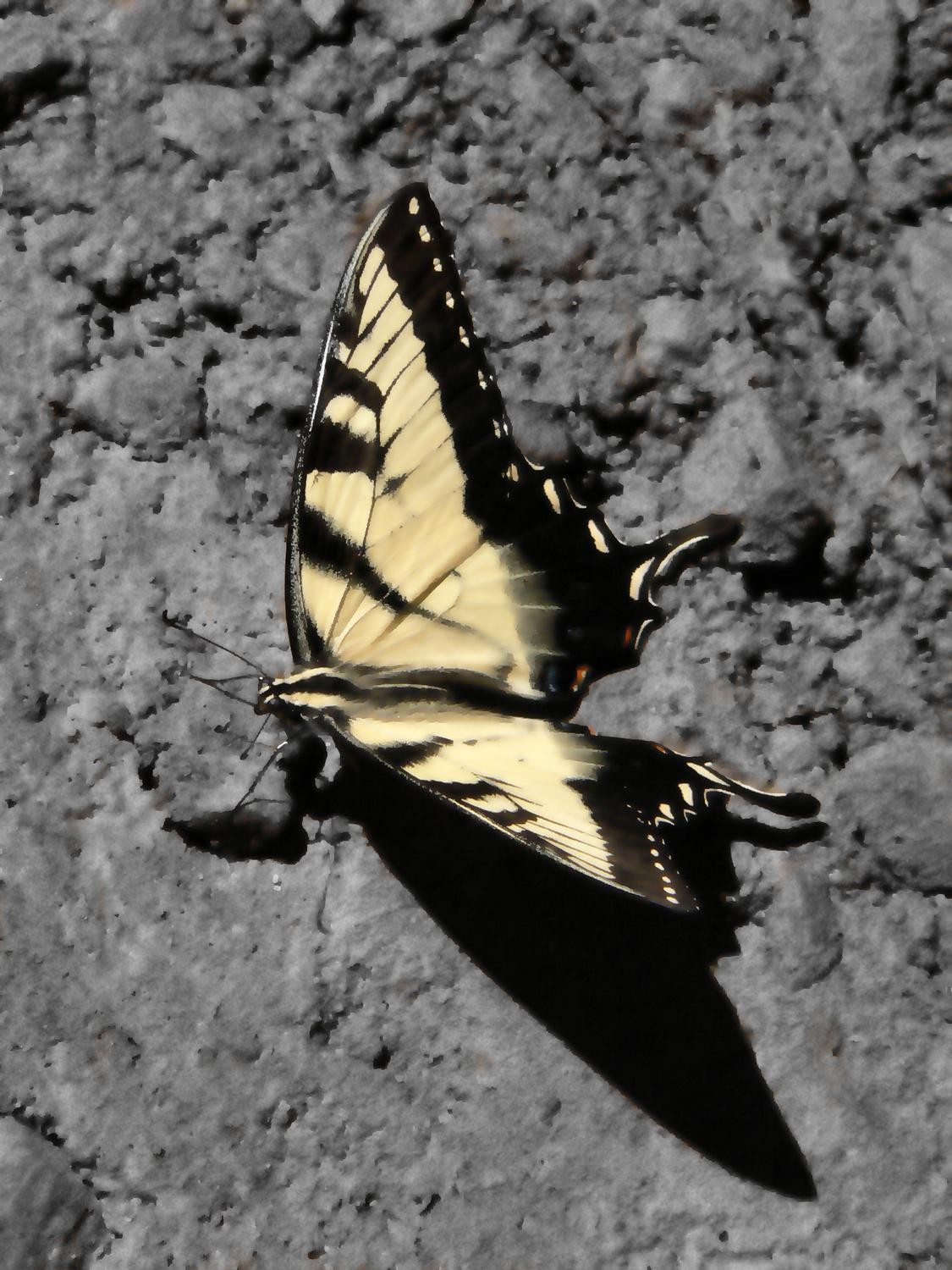 - Tiger swallowtail - Techno-Impressionist Museum - Techno-Impressionism - art - beautiful - photo photography picture - by Tony Karp